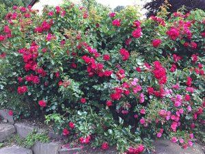Basische Rosen - SYNOVEDA-Garten - Mineralstoffe + Spurenelemente