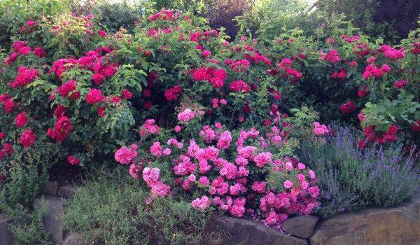 Basische Rosen schmecken einfach gut!